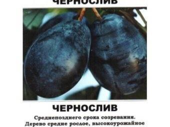 Слива уральский чернослив — описание сорта, фото, отзывы садоводов