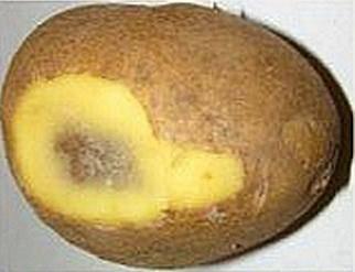 Почему чернеет картофель и как с этим бороться?
