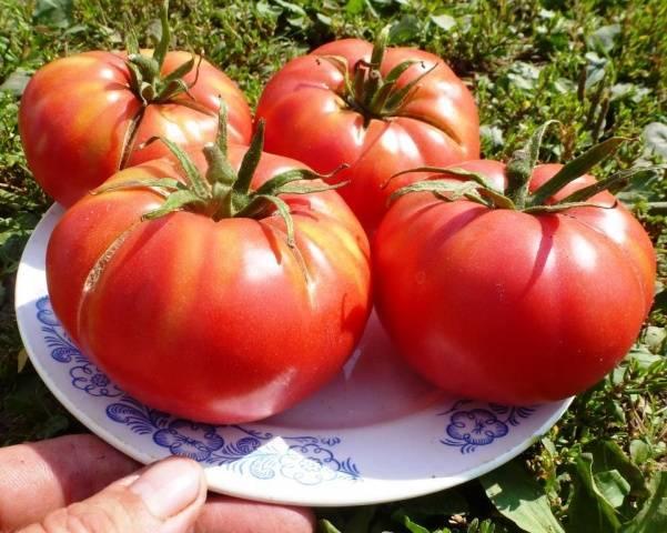 """Томат """"любимый праздник"""": описание и характеристики сорта, фотографии помидор и рекомендации по уходу"""