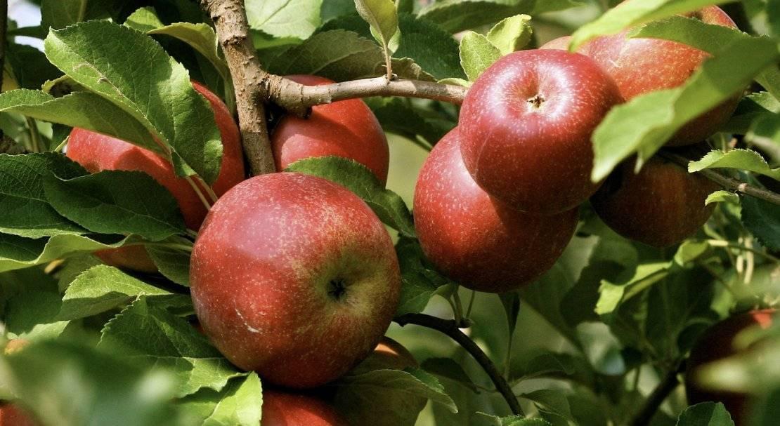 Яблоня женева эрли — 8 особенностей и советы по уходу