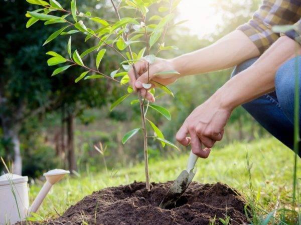 Груша - форель: особенности сорта и выращивание - общая информация - 2020