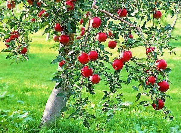 Яблоня мечта