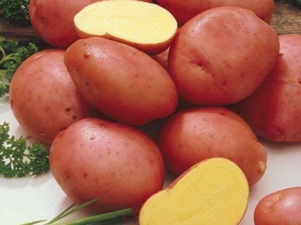 Урожайные сорта картофеля для Сибири