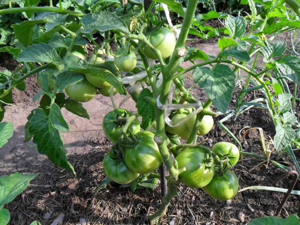 Характеристика и описание сорта томата король крупных