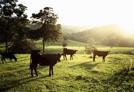 Диспепсия у теленка: что это такое, почему она возникает и как ее лечить