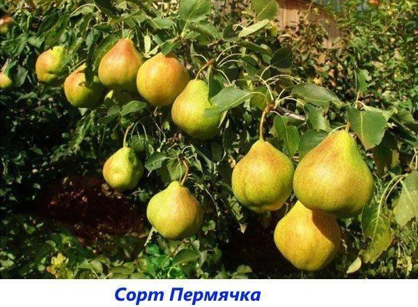 Груша елена: описание сорта, фото, отзывы садоводов, опылители, характеристика