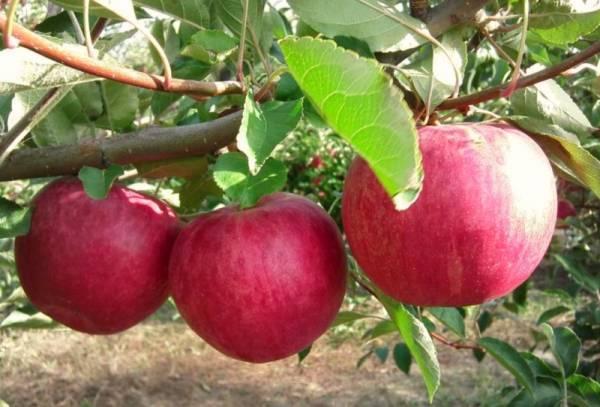 Яблоня сорта Слава Победителям
