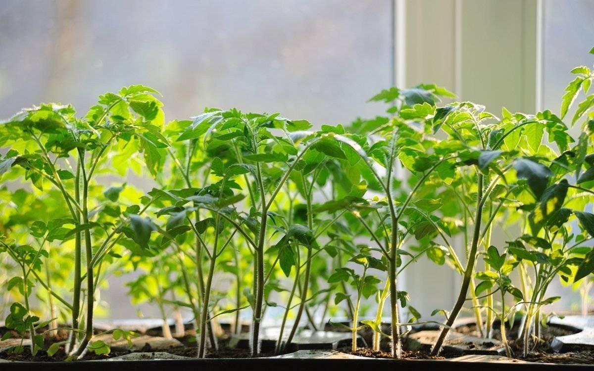 Почему вытягивается рассада помидоров