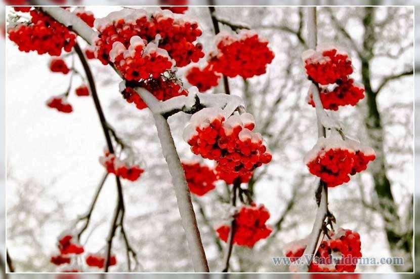 Рябина рубиновая: фото + описание