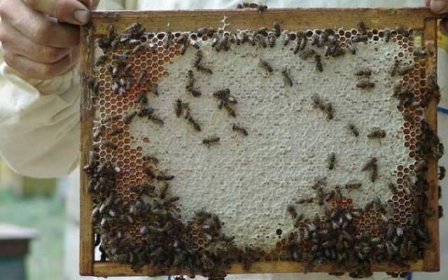 Что такое мед из рапса и чем он так полезен