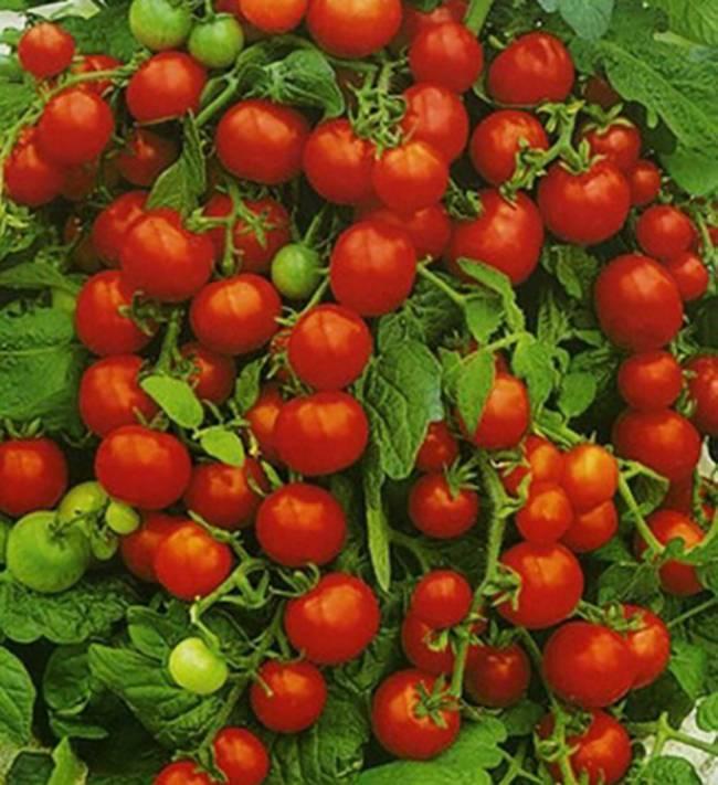Лучшие ранние низкорослые сорта урожайных томатов для открытого грунта