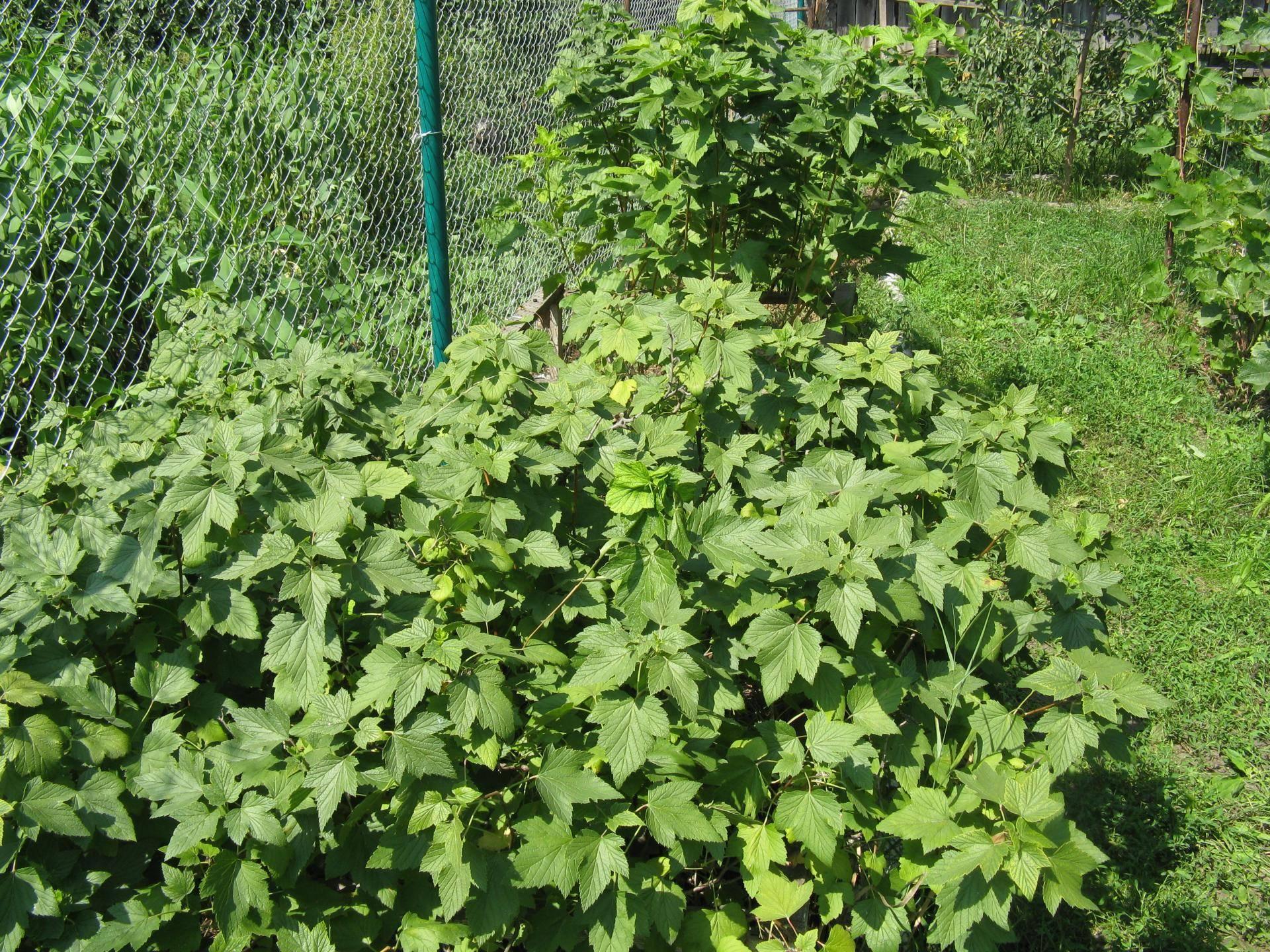 Черная смородина пигмей: отзывы, фото, описание крупноплодного сорта