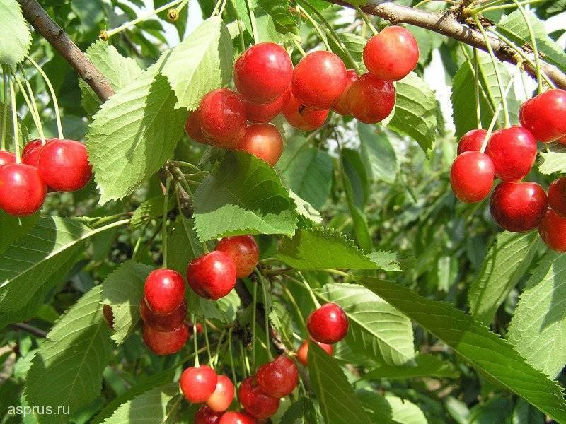 Черешня память астахова — описание сорта, фото, отзывы садоводов