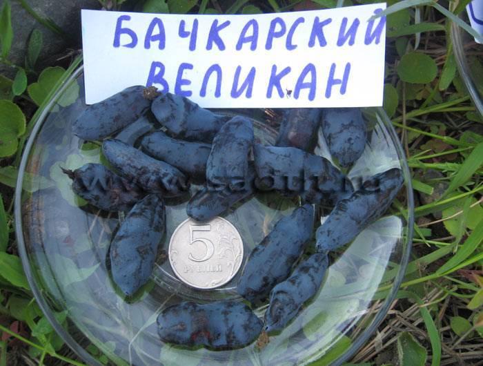 Жимолость бакчарский великан: 7 особенностей и 9 советов по посадке и уходу