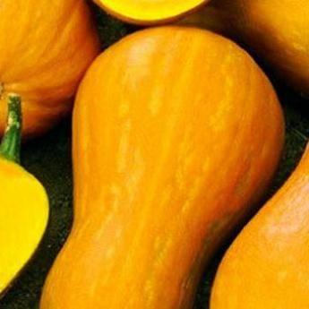 Кабачок суха f1: отзывы, фото, описание гибрида