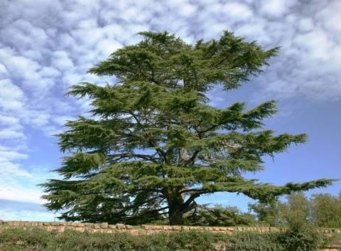 Кедр (72 фото): как выглядит дерево? как вырастить саженцы? где растет кедр? когда он начинает плодоносить шишками и как цветет?