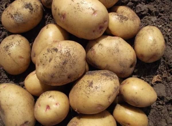 Кто вырастил самую большую картошку в мире и как она выглядит