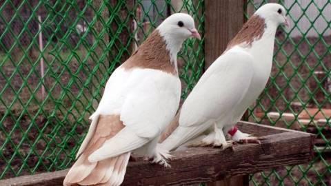 Популярные породы голубей: описание, характеристики, фото