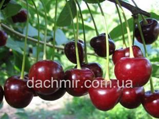 Топ-8 лучших самоплодных сортов вишни для подмосковья и особенности их посадки