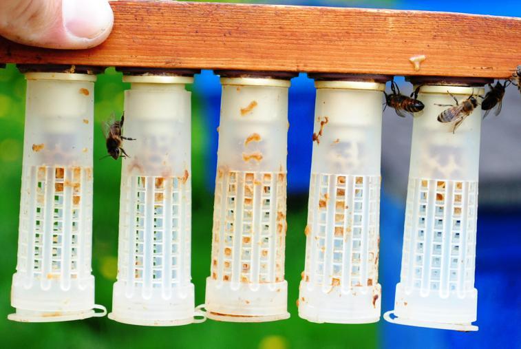 Как вывести матку пчелы? - общая информация - 2020