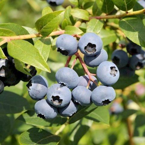 Голубика блюкроп: описание сорта и особенности выращивания