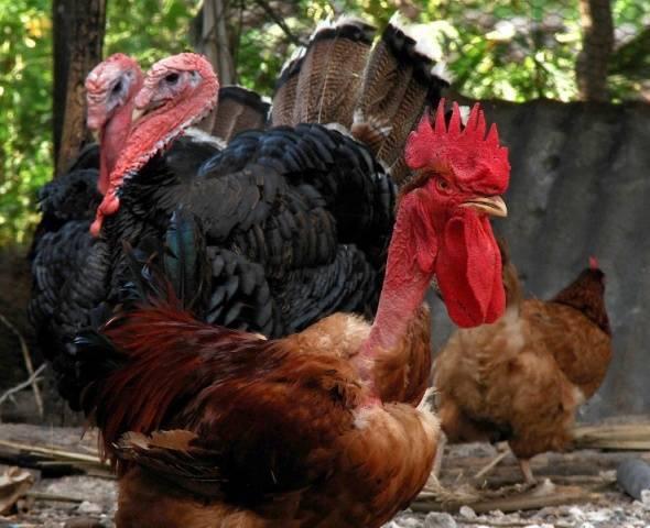 Куры голошейки (19 фото): описание голошейной породы, выращивание цыплят, отзывы