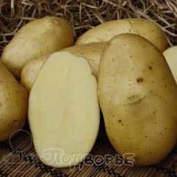 Картофель колетте описание сорта фото
