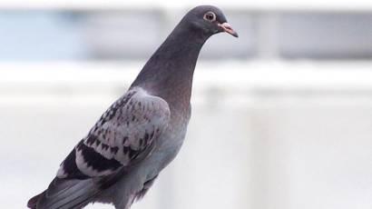 Птенцы голубя и городские жители