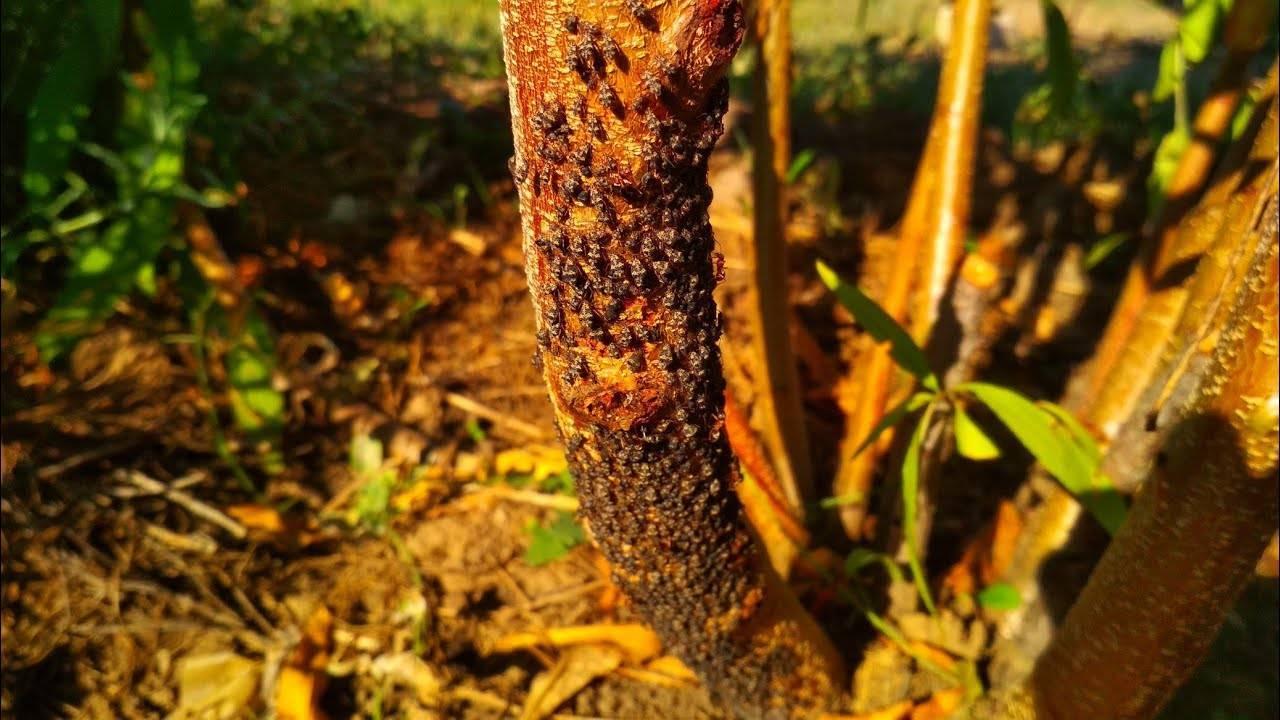 О борьбе с тлей и муравьями на черешне: как избавиться, чем обработать