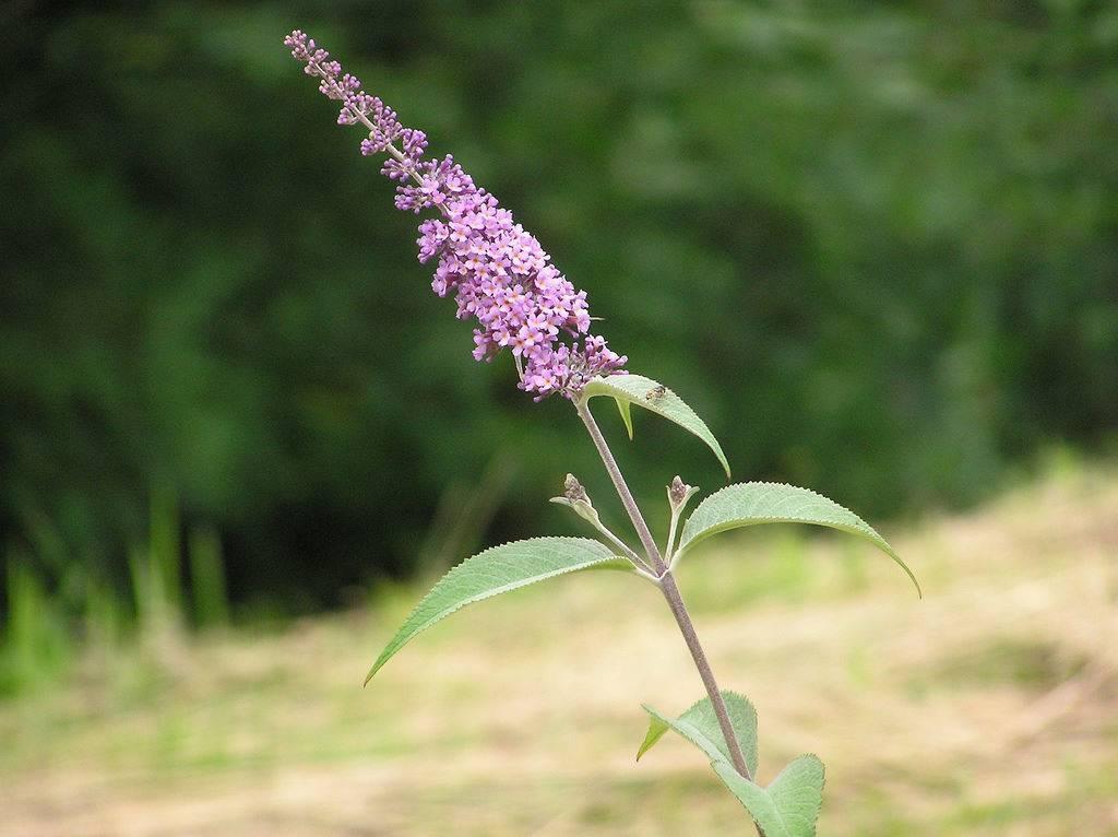 Любимица бабочек — буддлея давида: выращивание из семян + посадка и уход