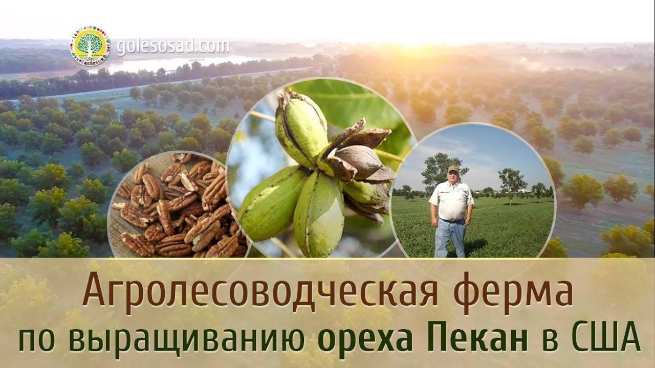 Орех пекан: описание, полезные свойства и применение