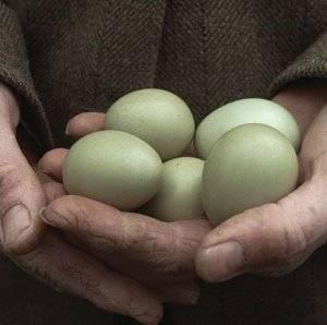 Мясные голуби: лучшие породы, содержание и кормление