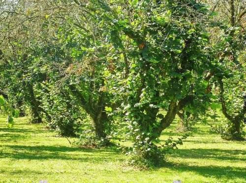 Дерево дуб (quercus)