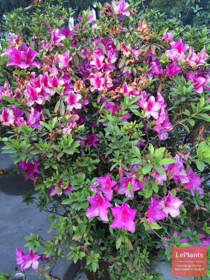 Рододендрон розеум элеганс: описание гибридного вида roseum elegans, а также правила посадки и ухода за растением, которое отличается зимостойкостью