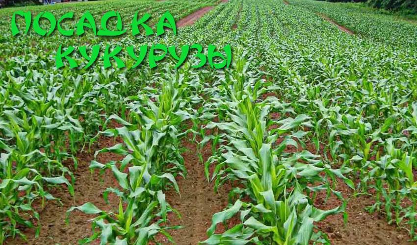 Когда и как сажать кукурузу в открытый грунт: семенами, рассадой, на приусадебном участке