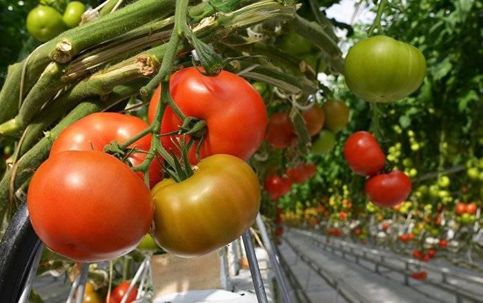 Плохая рассада помидор: когда и чем подкормить в домашних условиях