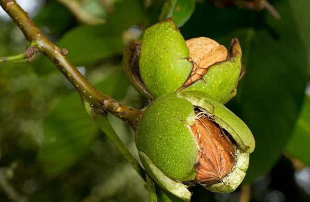 Когда можно пересаживать грецкий орех осенью