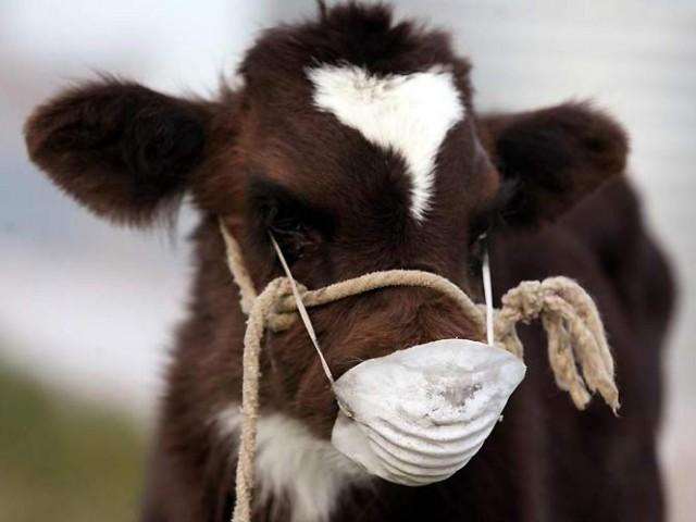 Туберкулёз крупного рогатого скота (крс): диагностика, симптомы и лечение, профилактика