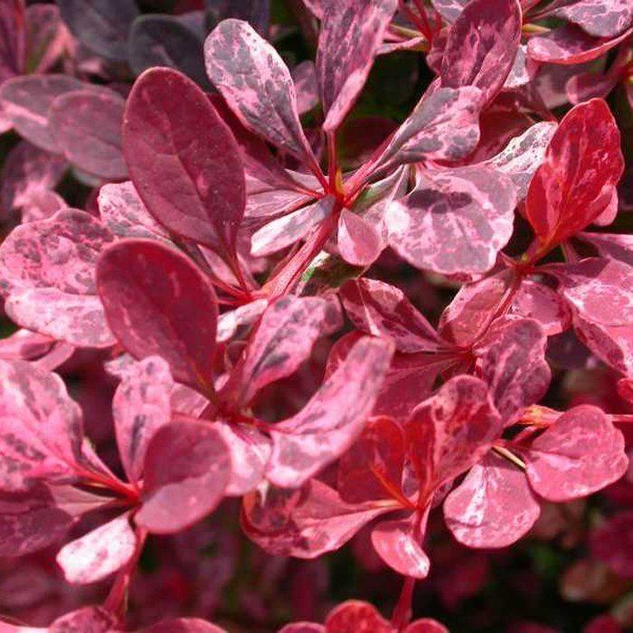 Барбарис роуз глоу (rose glow): описание, посадка и уход, фото