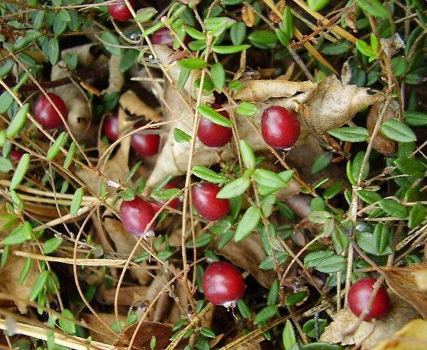 Собираем лесные ягоды
