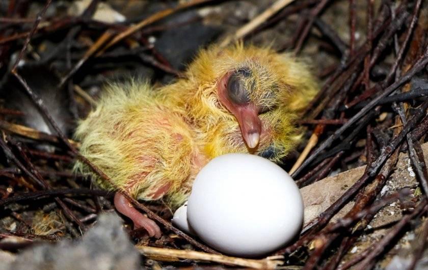 Вяхирь (дикий лесной голубь): фото и описание, где обитает, чем питается