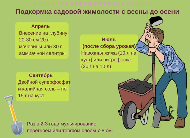 Сезонные особенности ухода за жимолостью, подкормка и удобрение