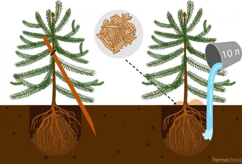 Выращивание и правила ухода за пихтой бальзамической нана