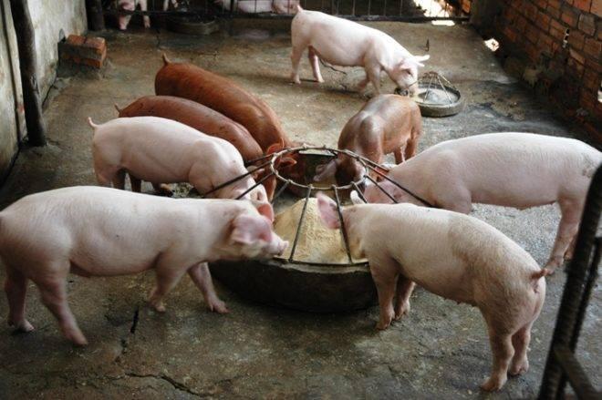 Откорм поросят на бекон, мясо и до жирных кондиций в домашних условиях