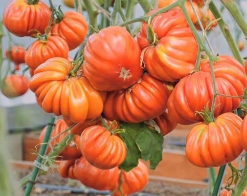 Сорт томата Нина