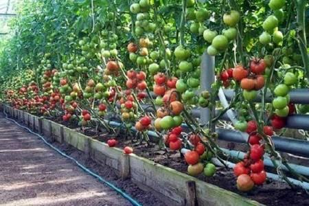Какую температуру выдерживают помидоры?