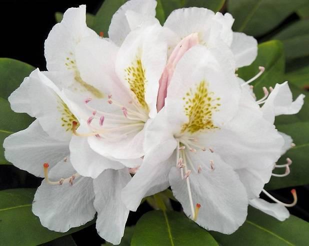 Описание рододендрона calsap, особенности сорта