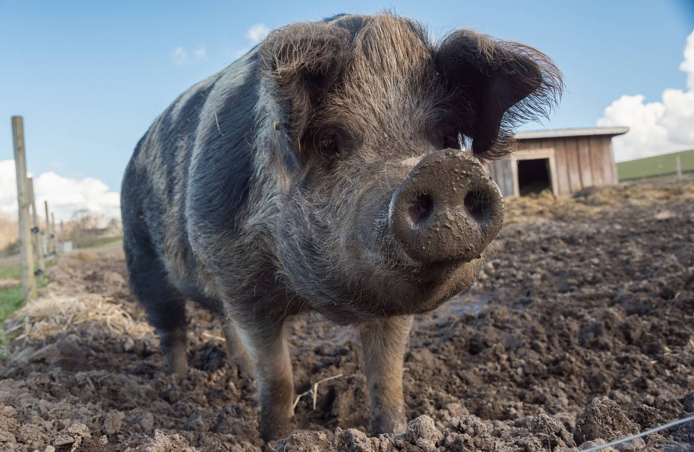 Можно ли использовать овечий навоз или перегной для удобрения огорода