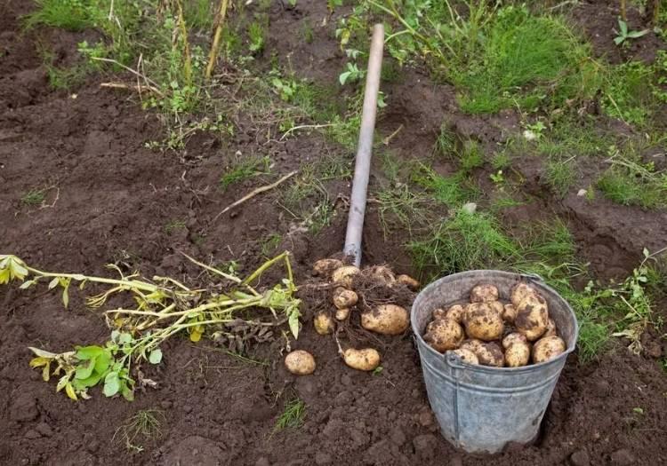 Когда можно копать молодую картошку после цветения, для хранения. сроки уборки урожая картофеля как узнать что картофель можно выкапывать