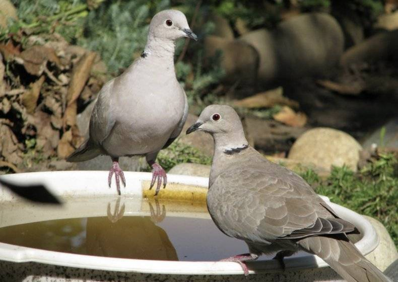Чем кормить голубёнка